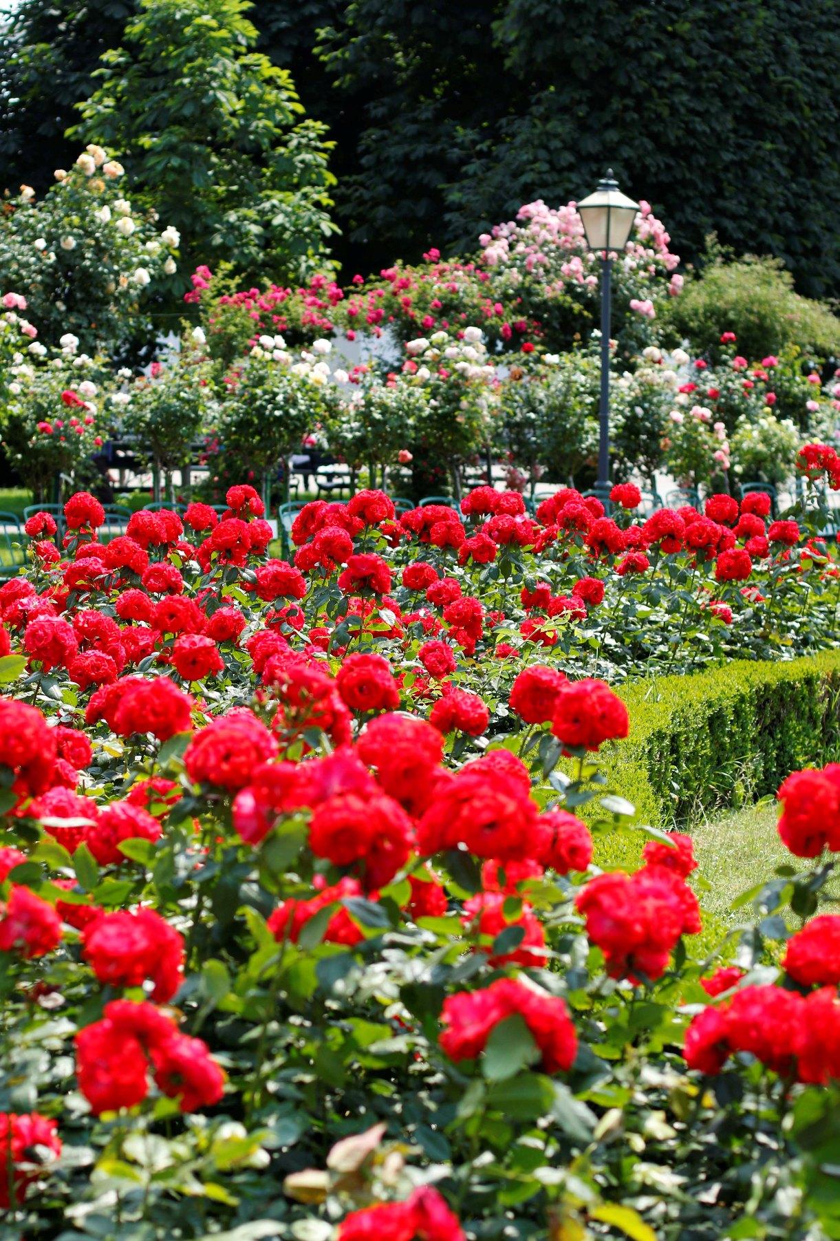 rose scented volksgarten vienna insider. Black Bedroom Furniture Sets. Home Design Ideas